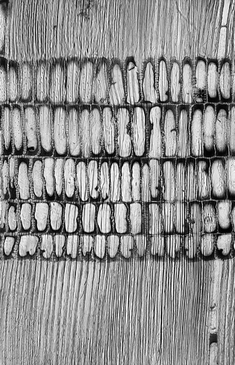 PERACEAE Chaetocarpus schomburgkianus