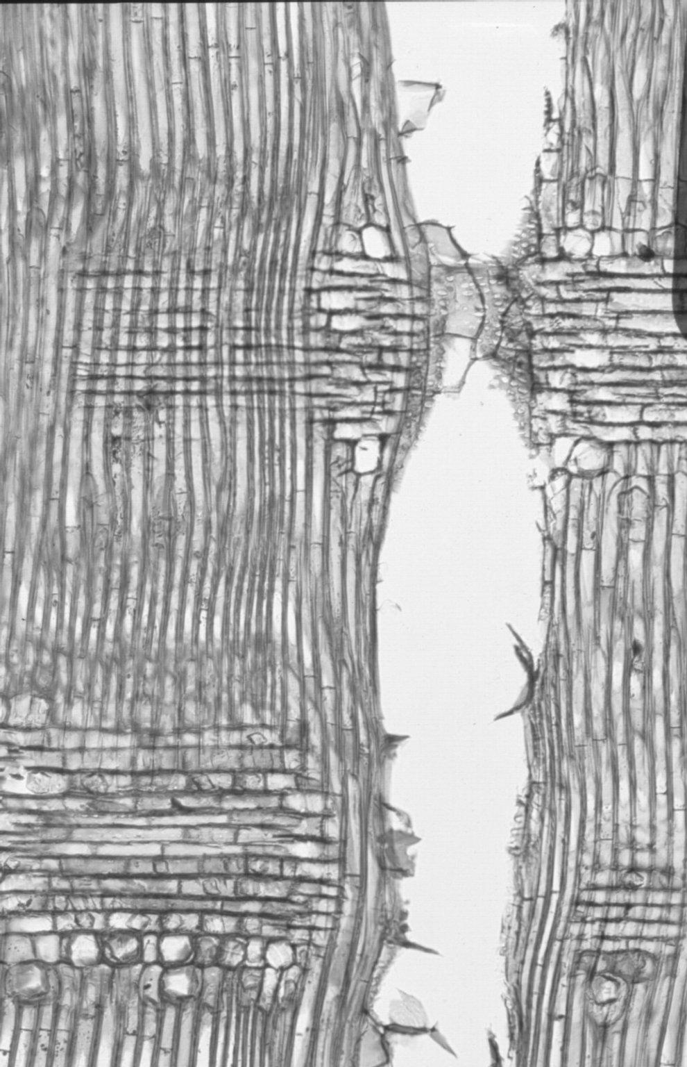 ANACARDIACEAE Lannea coromandelica