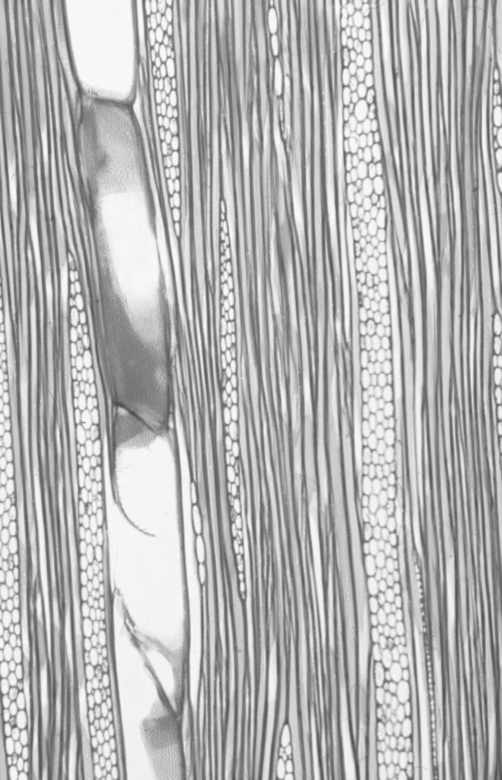 ANNONACEAE Annickia chlorantha