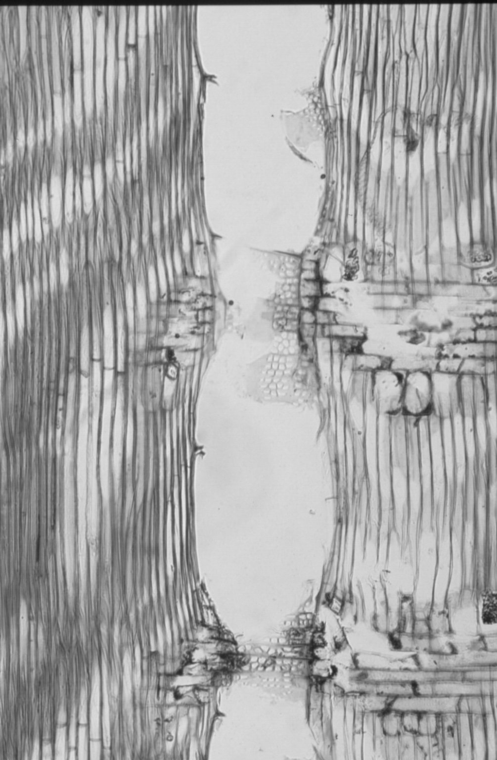 BURSERACEAE Canarium euphyllum