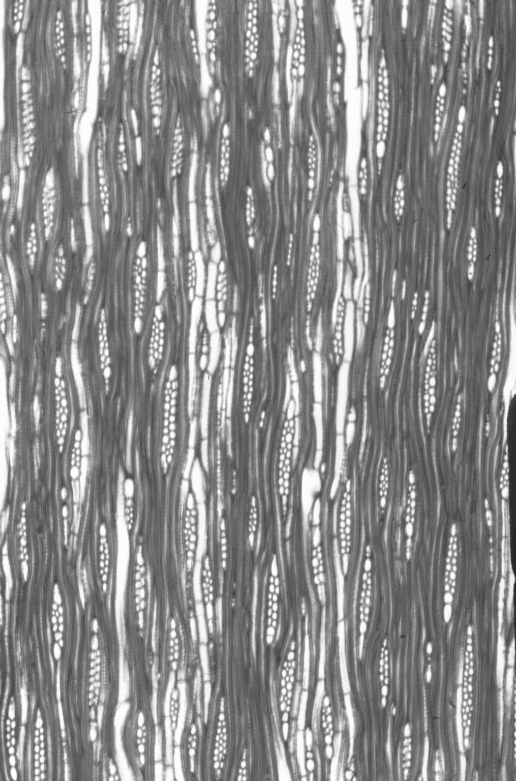 BUXACEAE Buxus sempervirens