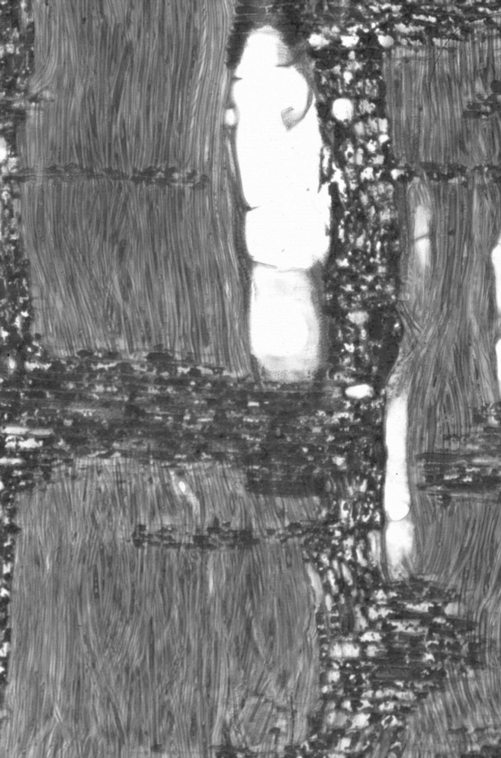 CASUARINACEAE Allocasuarina verticillata