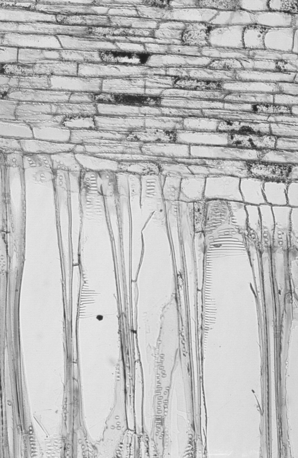 CORNACEAE Mastixia arborea