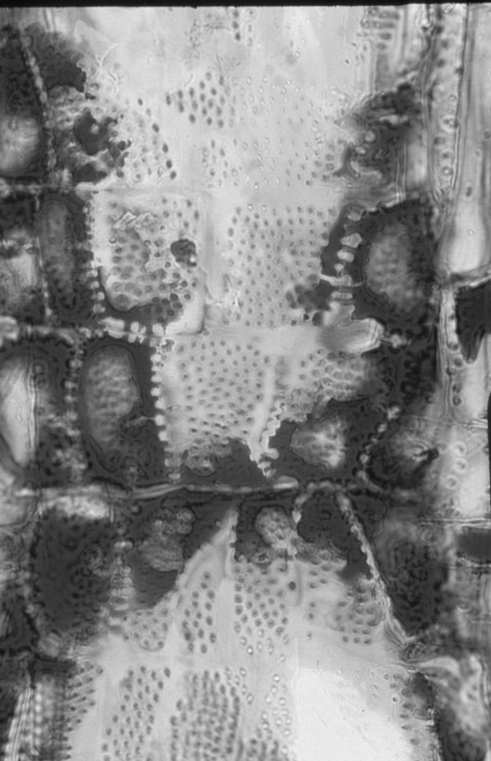 CRYPTERONIACEAE Crypteronia griffithii