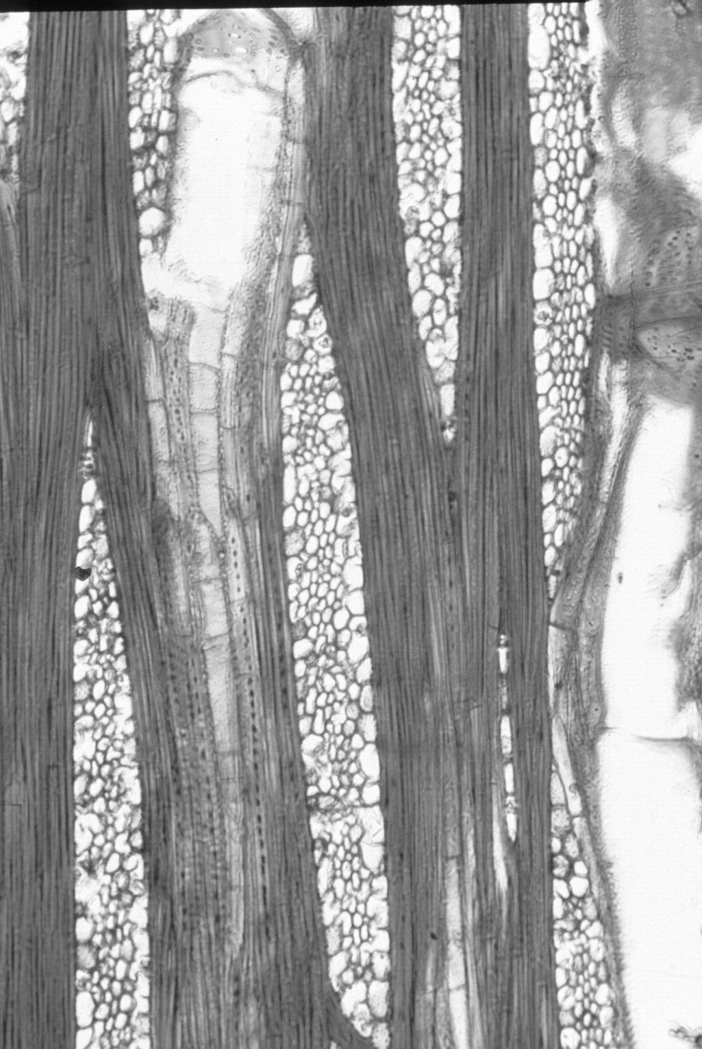 DIPTEROCARPACEAE Anisoptera marginata