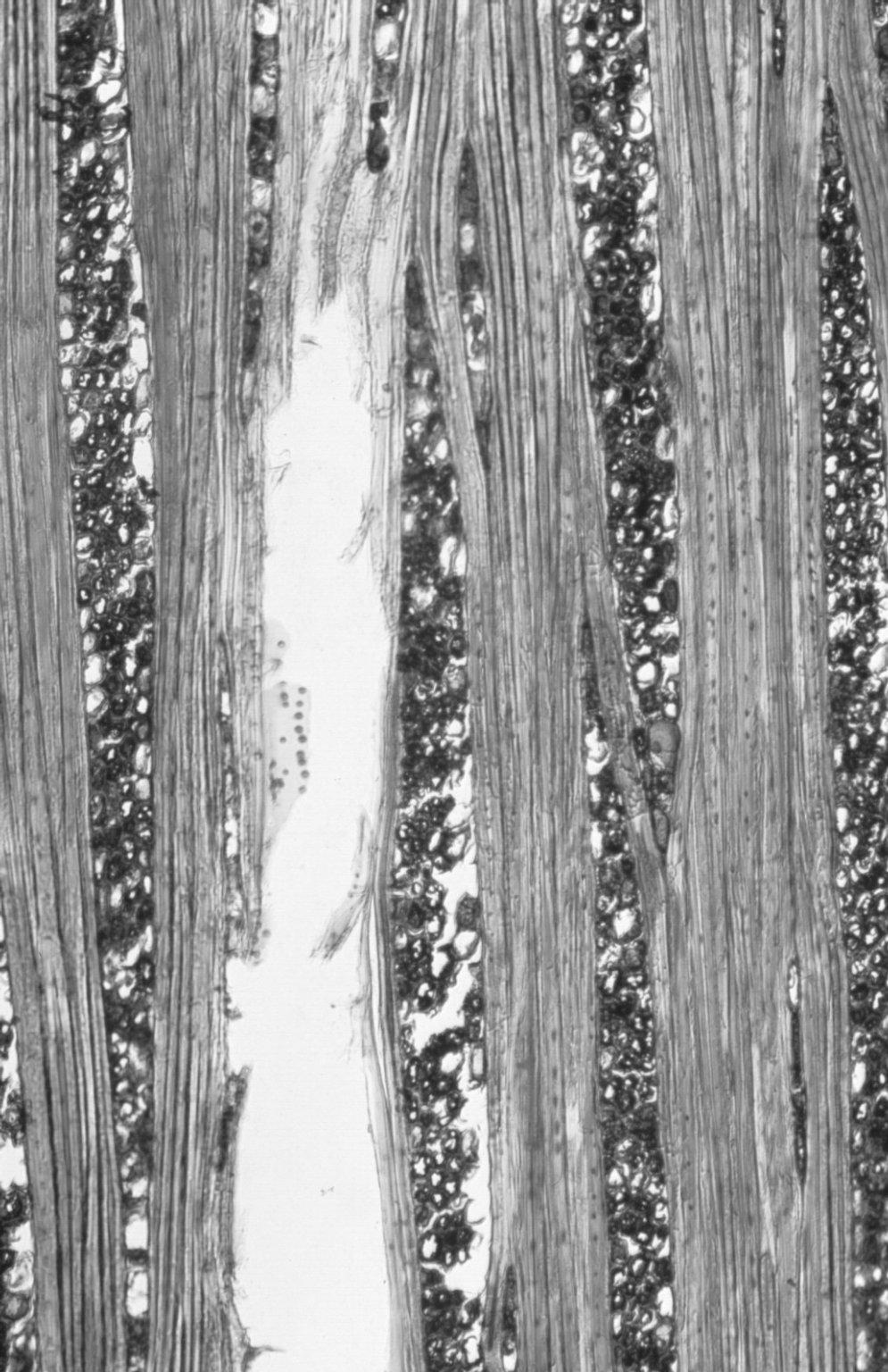 DIPTEROCARPACEAE Dipterocarpus confertus