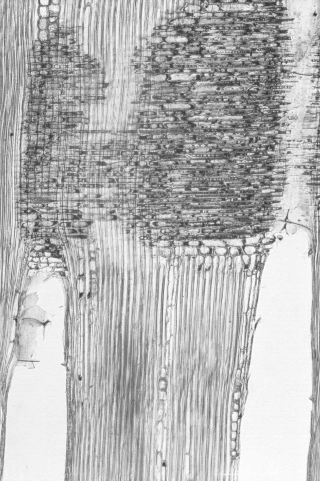 DIPTEROCARPACEAE Hopea ferruginea
