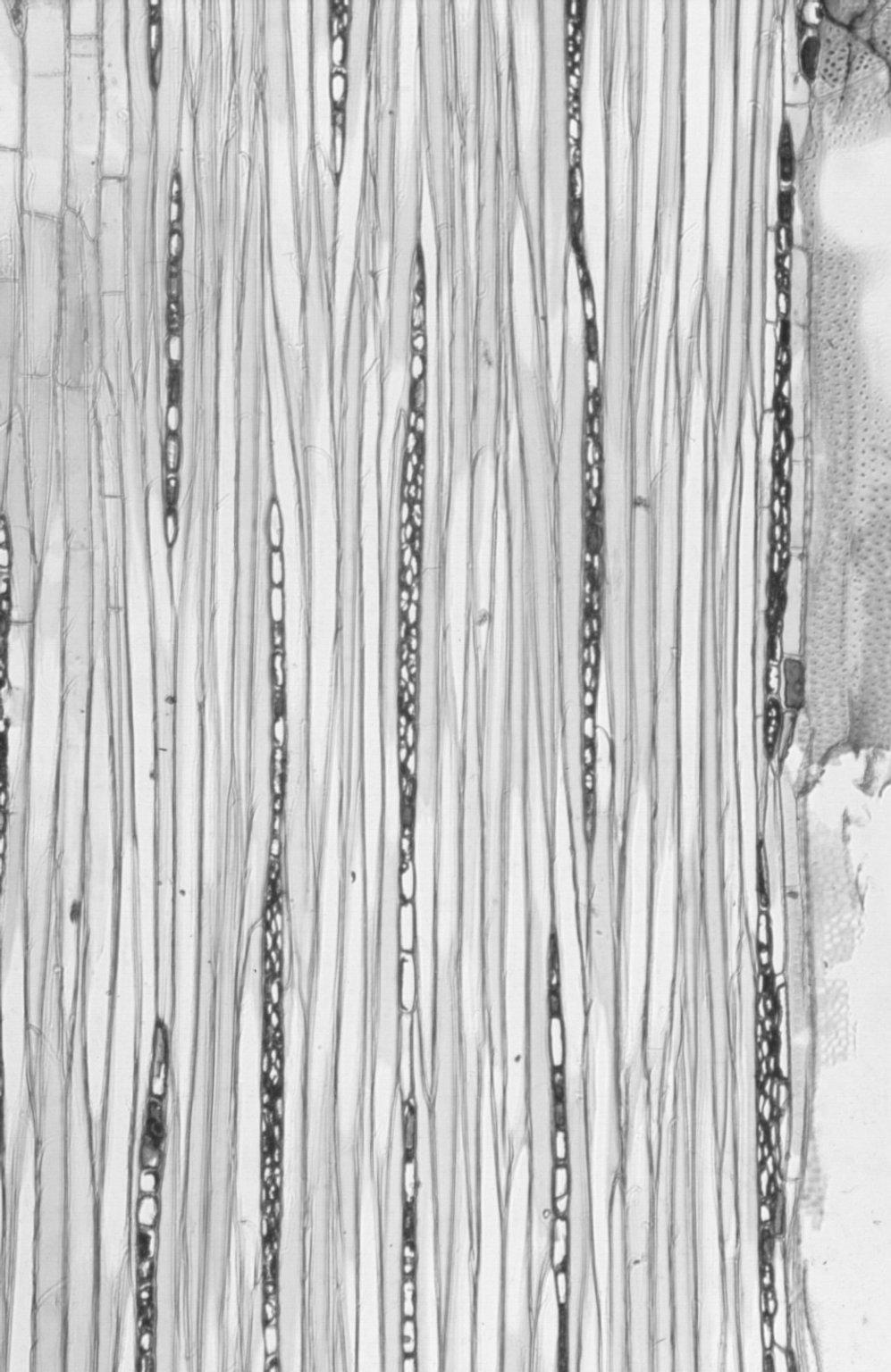 DIPTEROCARPACEAE Shorea acuminatissima