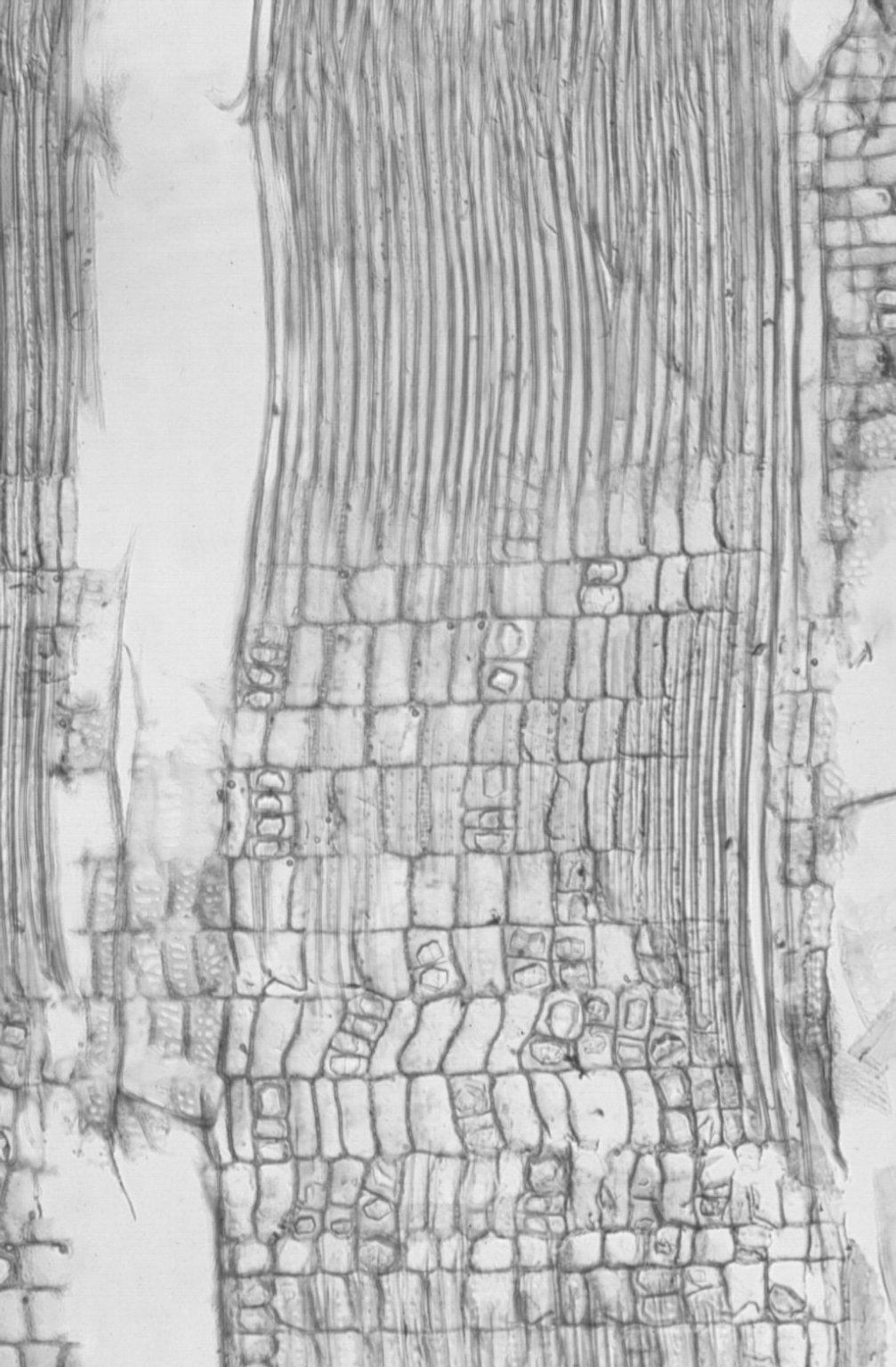 ELAEOCARPACEAE Elaeocarpus obovatus