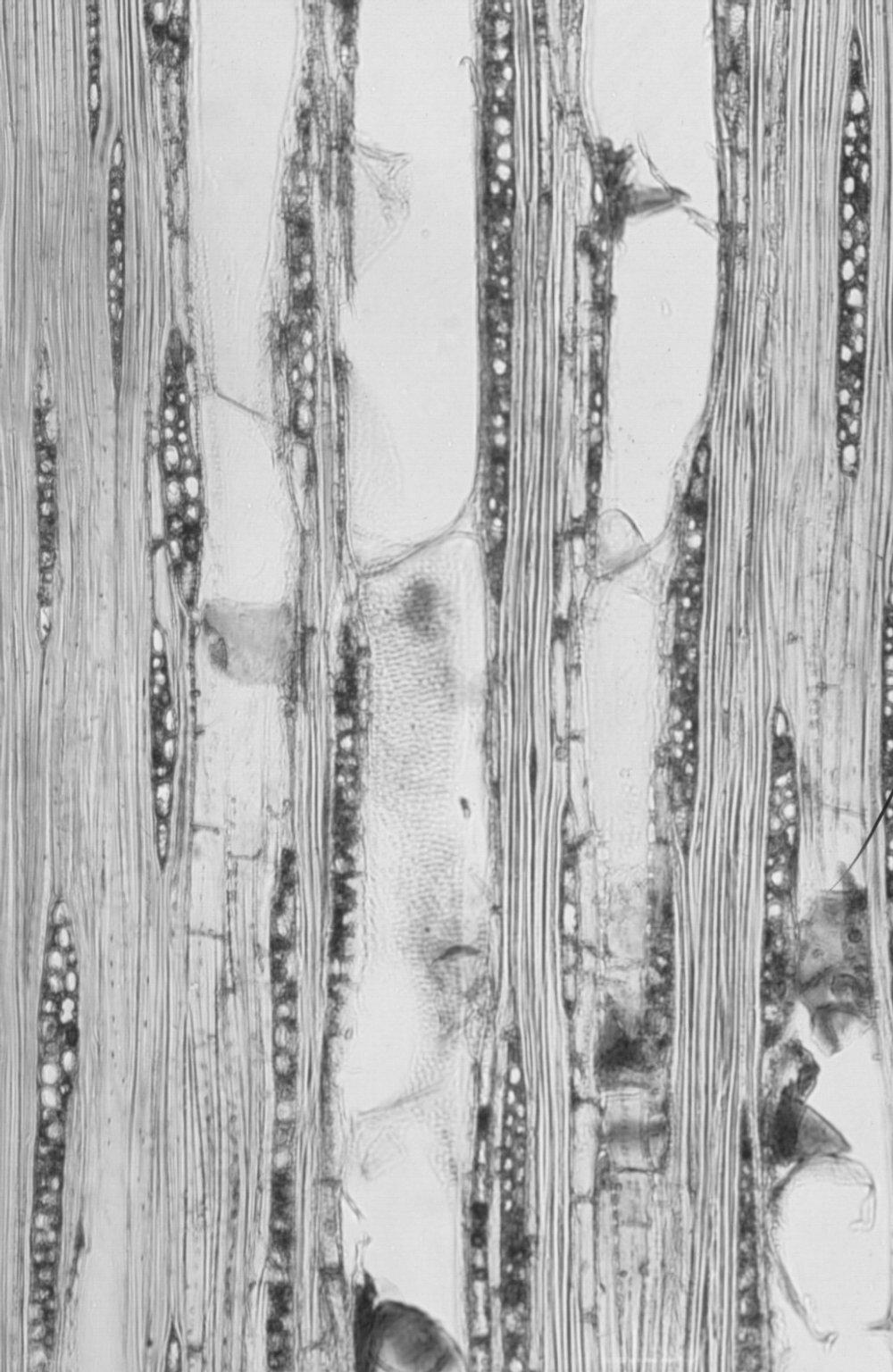 ERYTHROXYLACEAE Erythroxylum ecarinatum