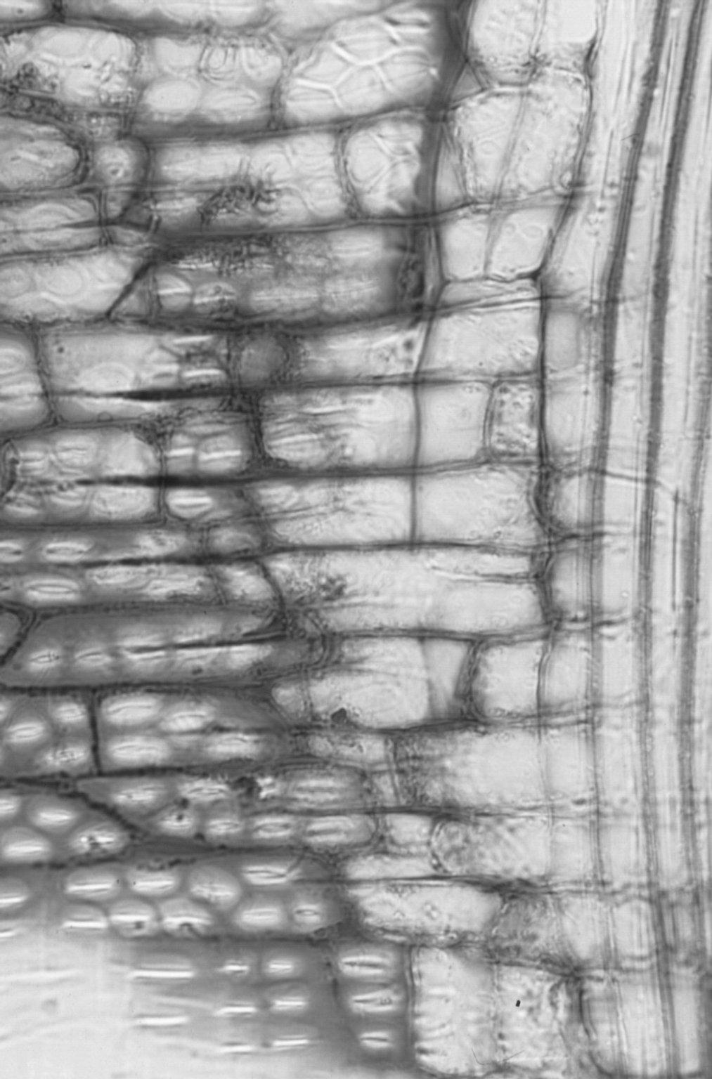 EUPHORBIACEAE Aleurites moluccanus