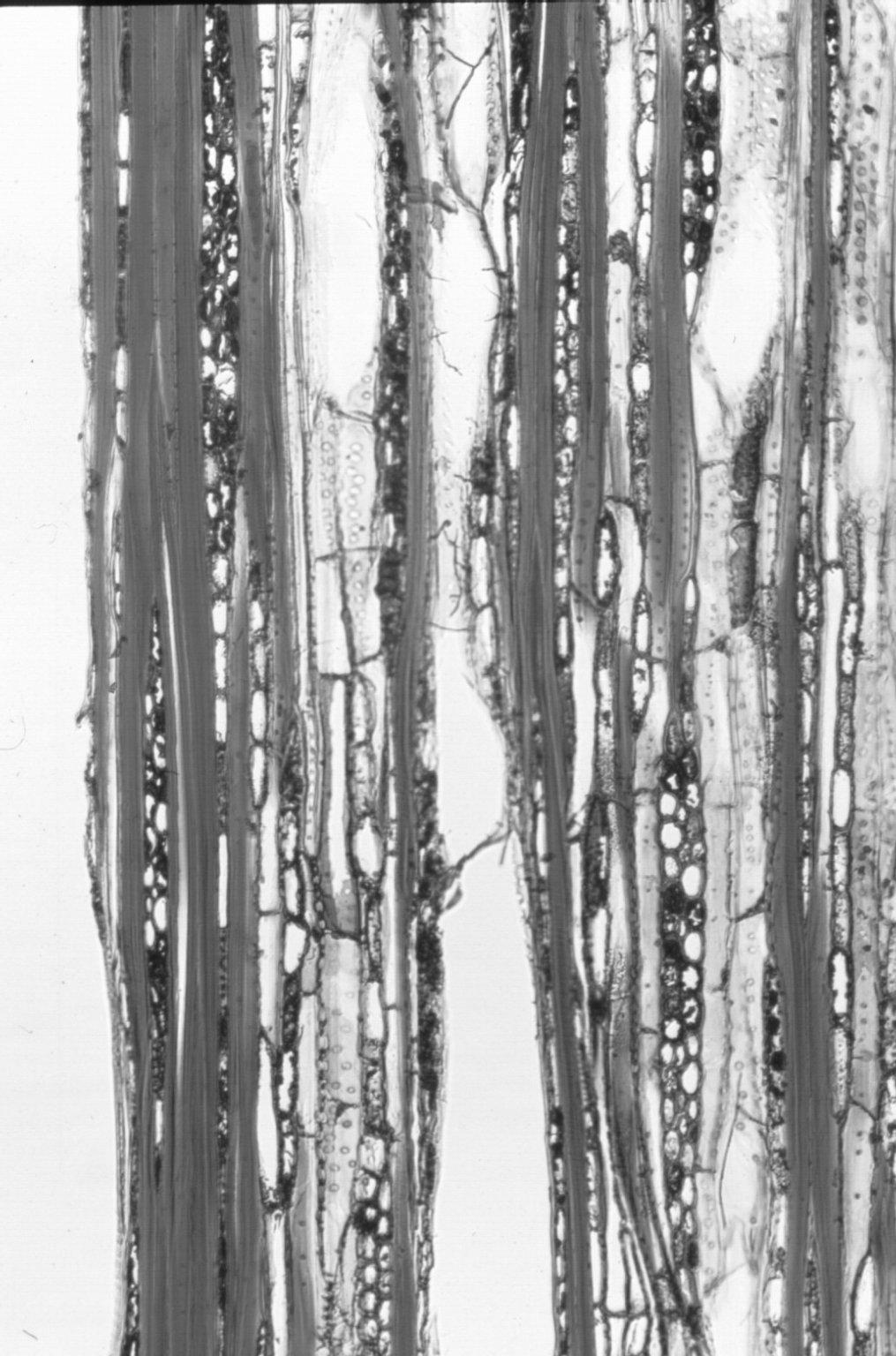 PICRODENDRACEAE Austrobuxus swainii