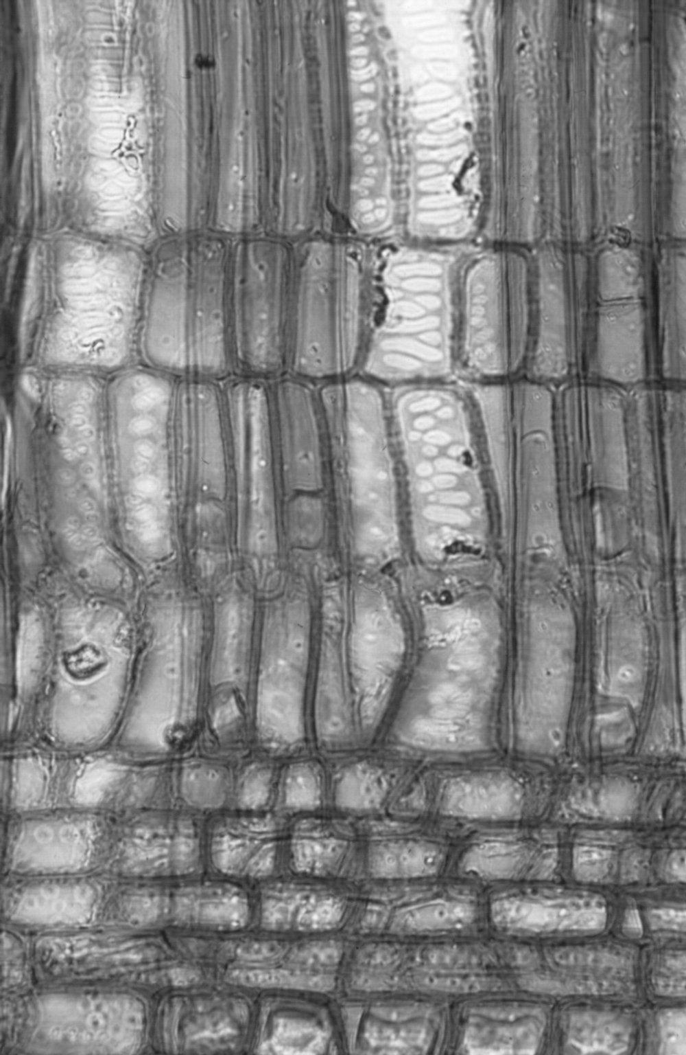 SALICACEAE Hasseltia floribunda