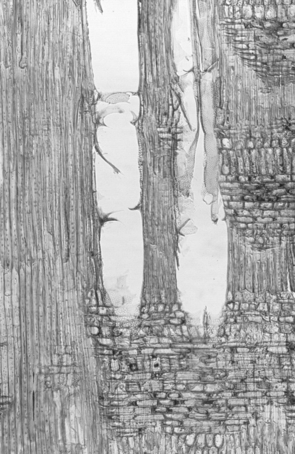 SALICACEAE Homalium tomentosum