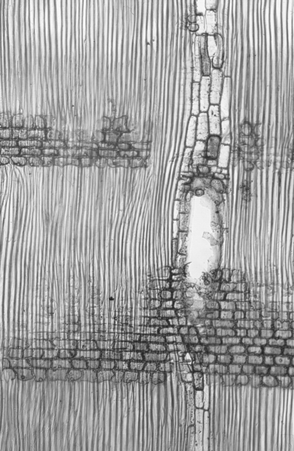 HYPERICACEAE Cratoxylum arborescens