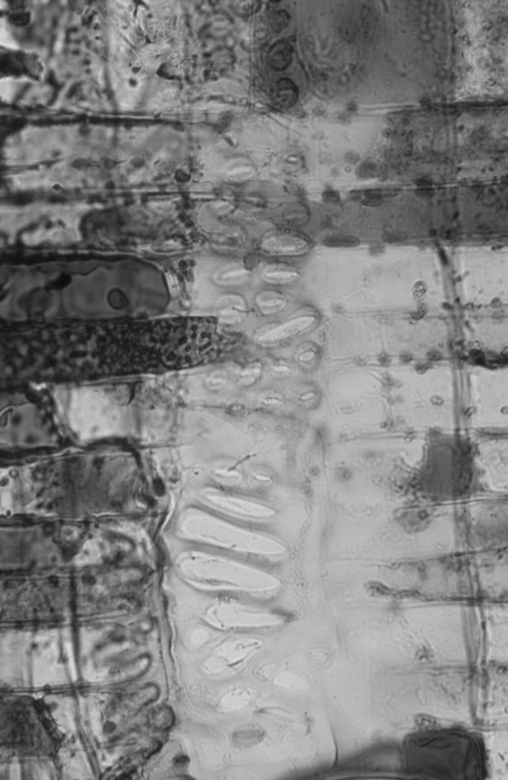 LAURACEAE Cryptocarya oblata