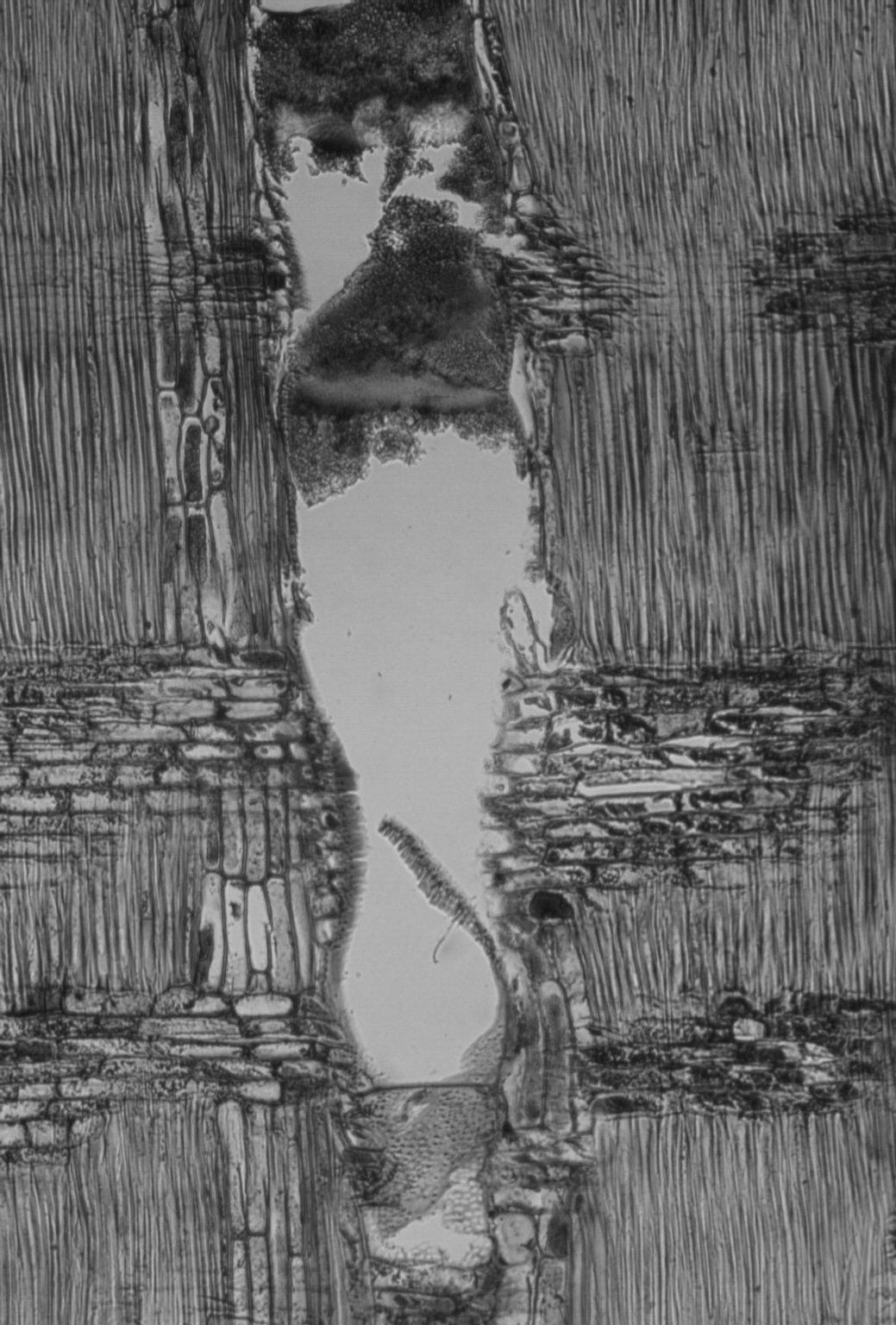 LEGUMINOSAE DIALIOIDEAE Apuleia leiocarpa