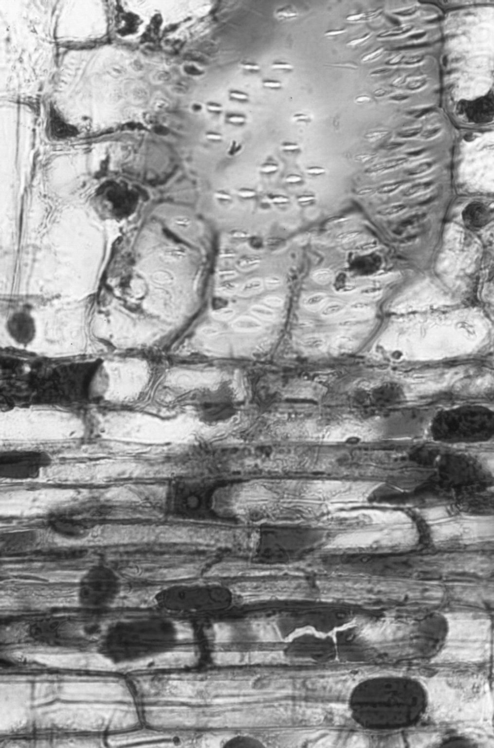 LEGUMINOSAE CAESALPINIOIDEAE Detarium senegalense