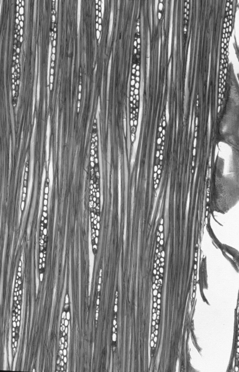 LEGUMINOSAE CAESALPINIOIDEAE Gossweilerodendron balsamiferum