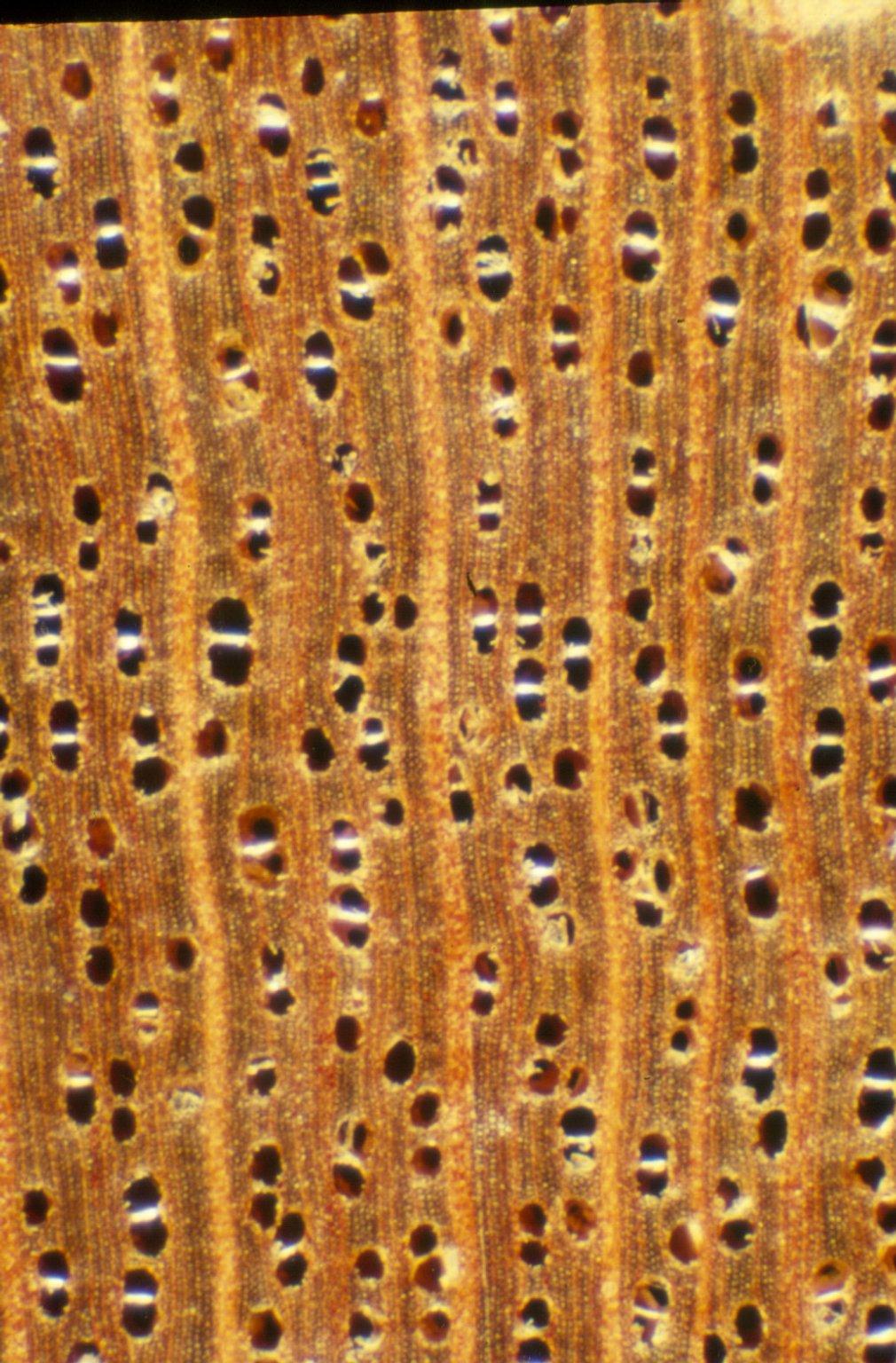 CLUSIACEAE Chrysochlamys floribunda