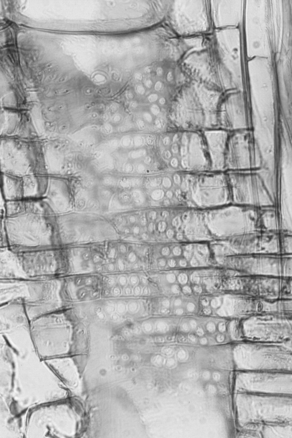 LAURACEAE Umbellularia californica