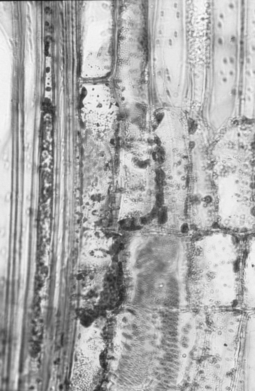 LOGANIACEAE Neuburgia corynocarpa