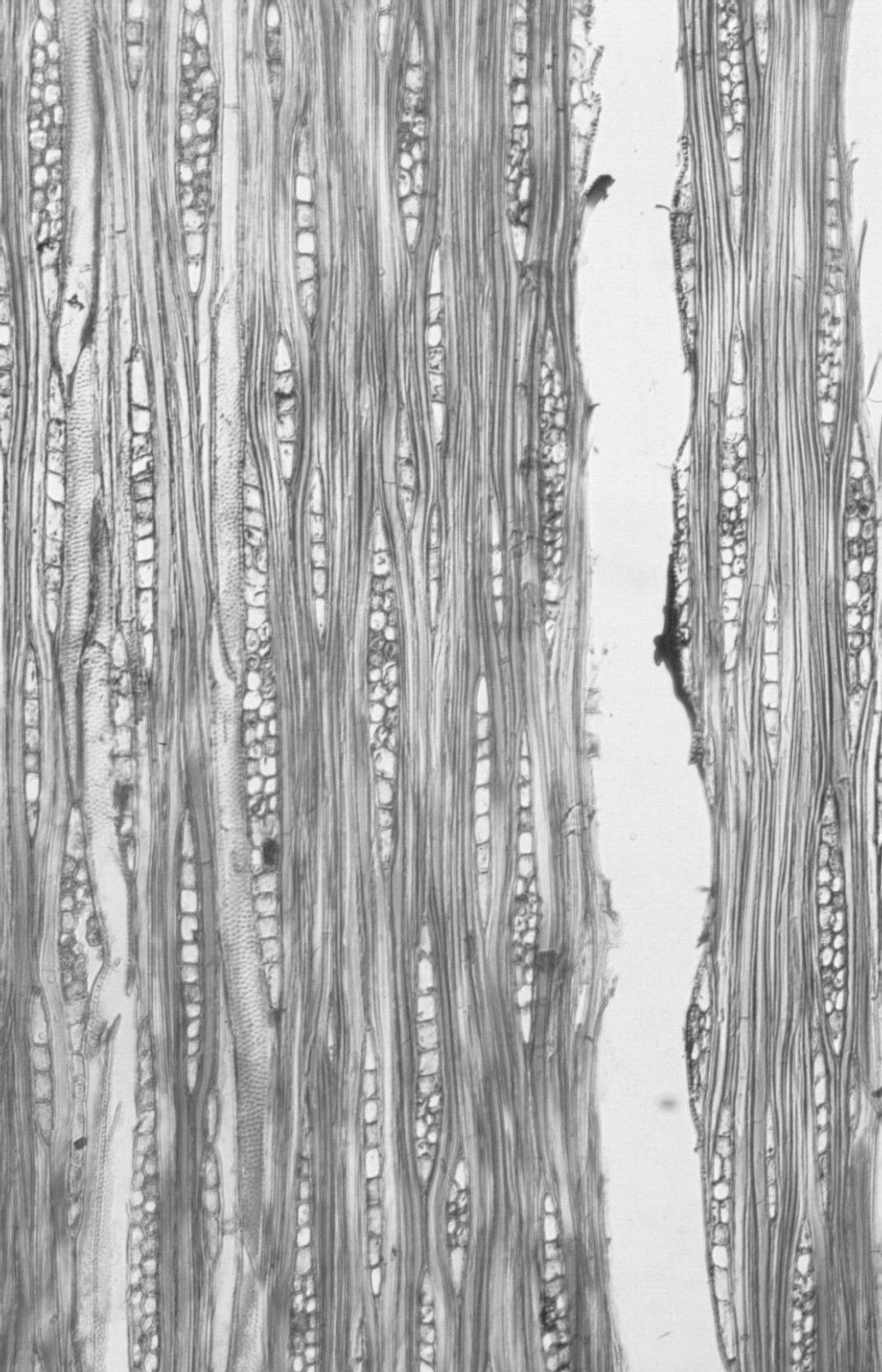 LYTHRACEAE Lafoensia punicaefolia