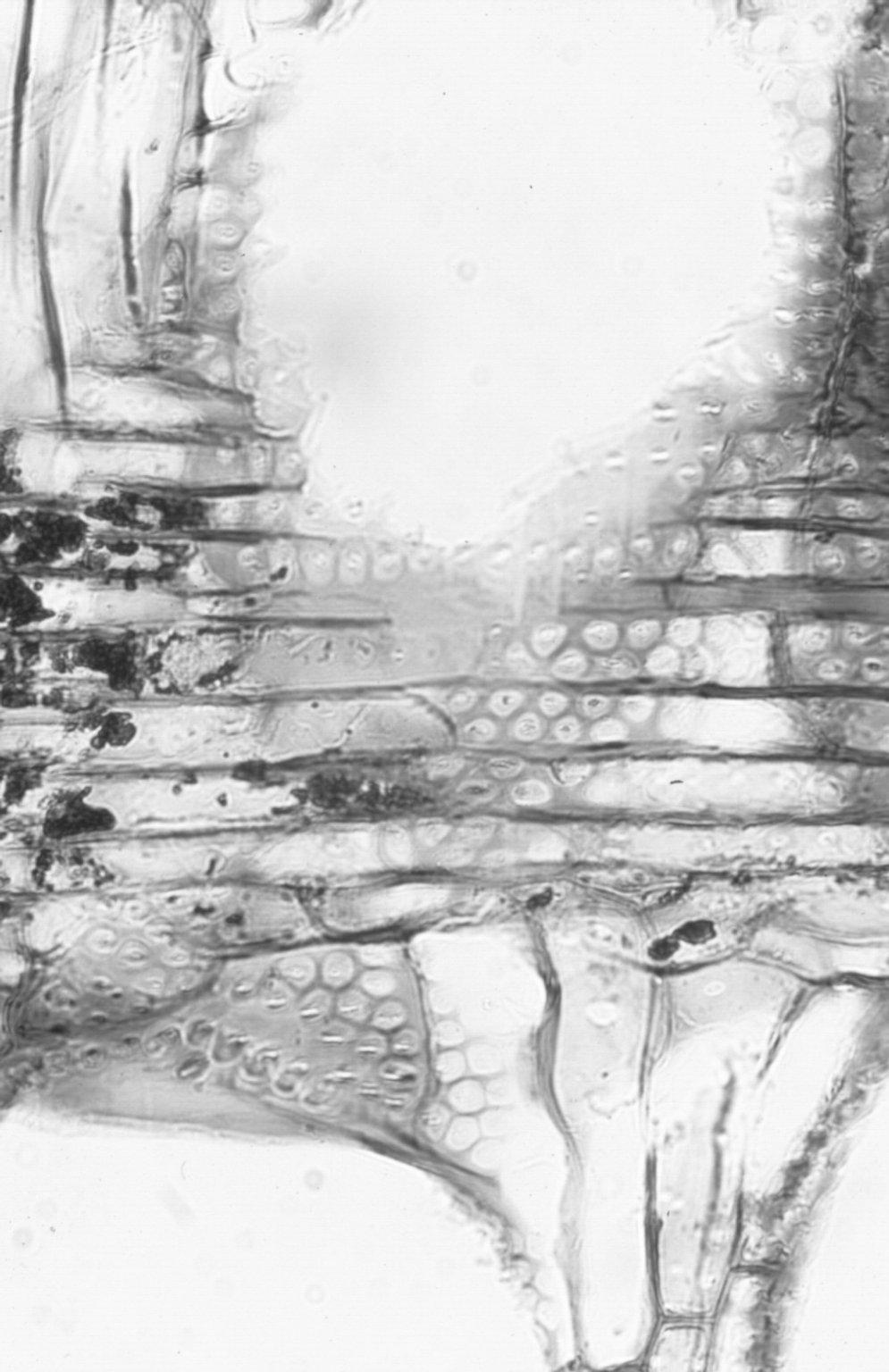 LEGUMINOSAE MIMOSOIDEAE Acacia melanoxylon