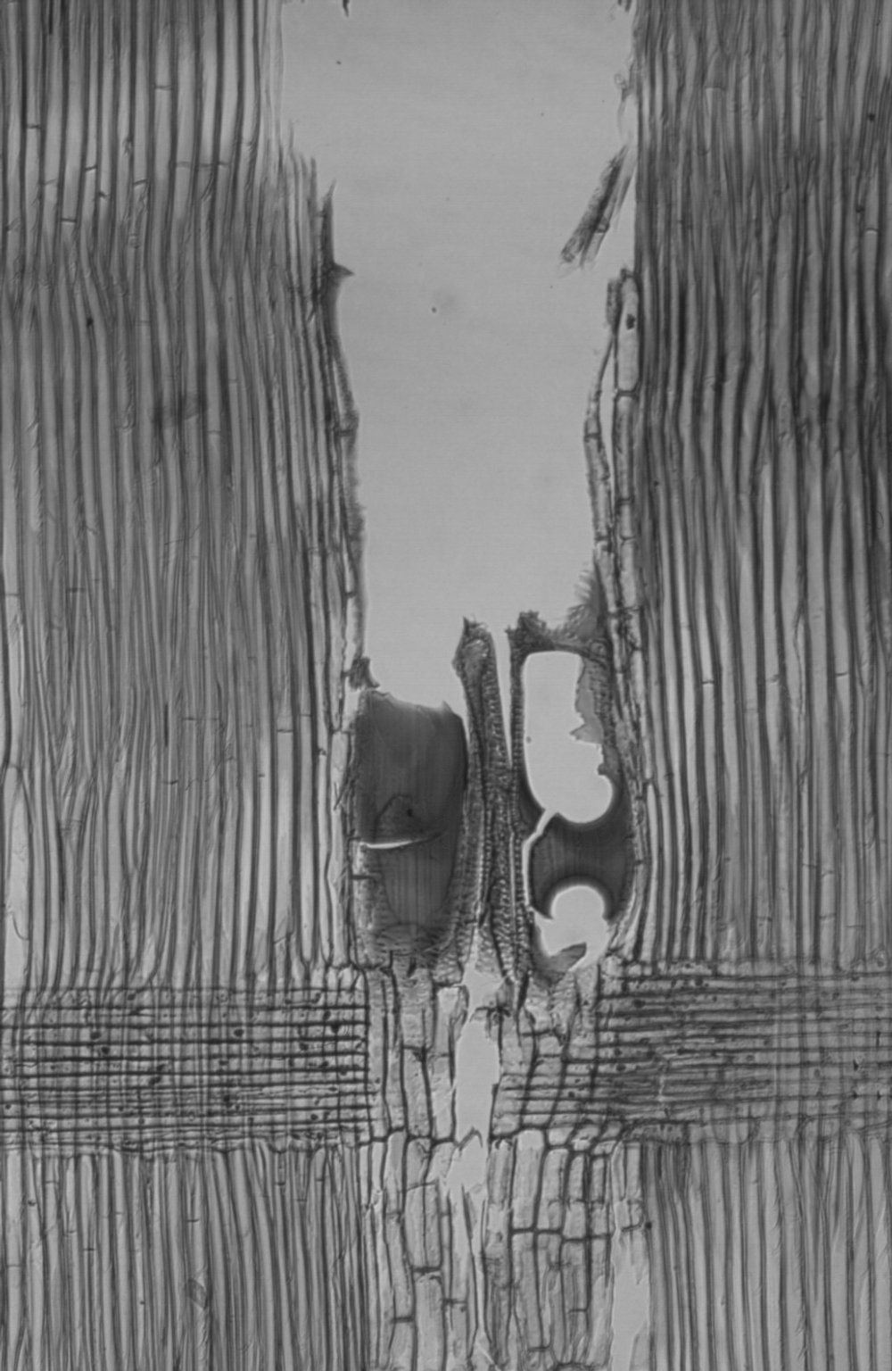 LEGUMINOSAE MIMOSOIDEAE Albizia gummifera