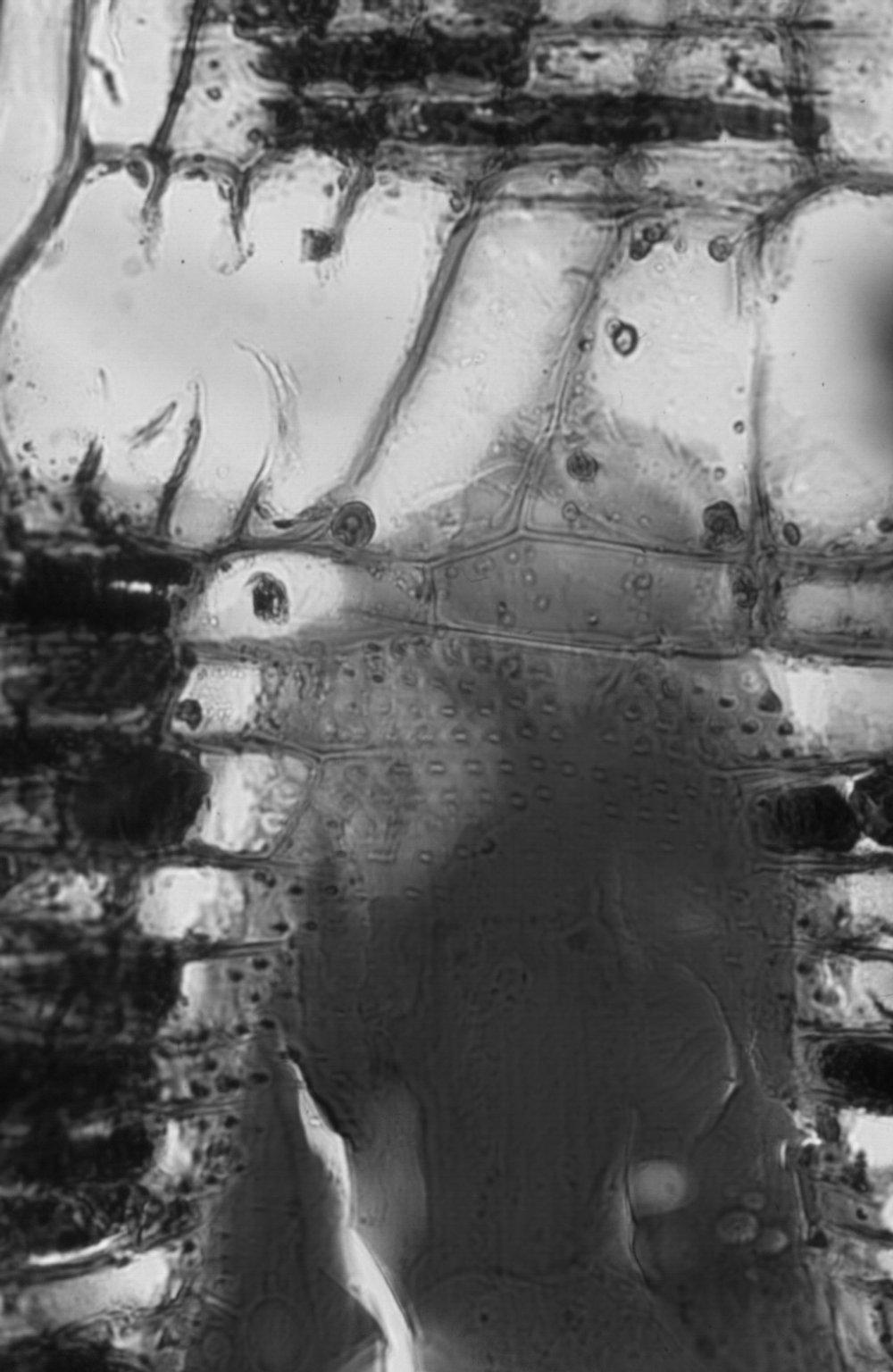 LEGUMINOSAE MIMOSOIDEAE Albizia lebbekoides