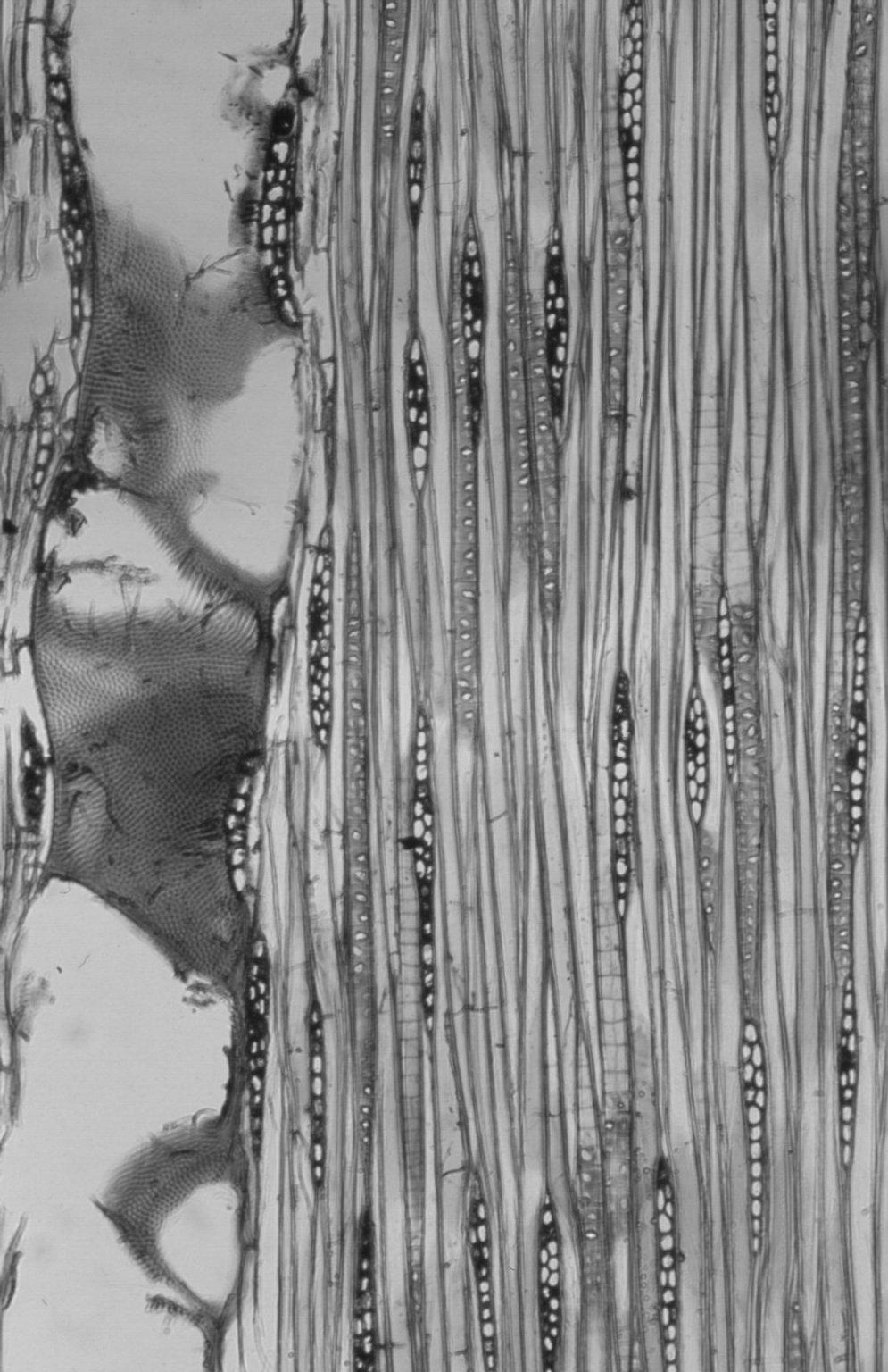 LEGUMINOSAE CAESALPINIOIDEAE Mimosoid Clade Serianthes minahassae