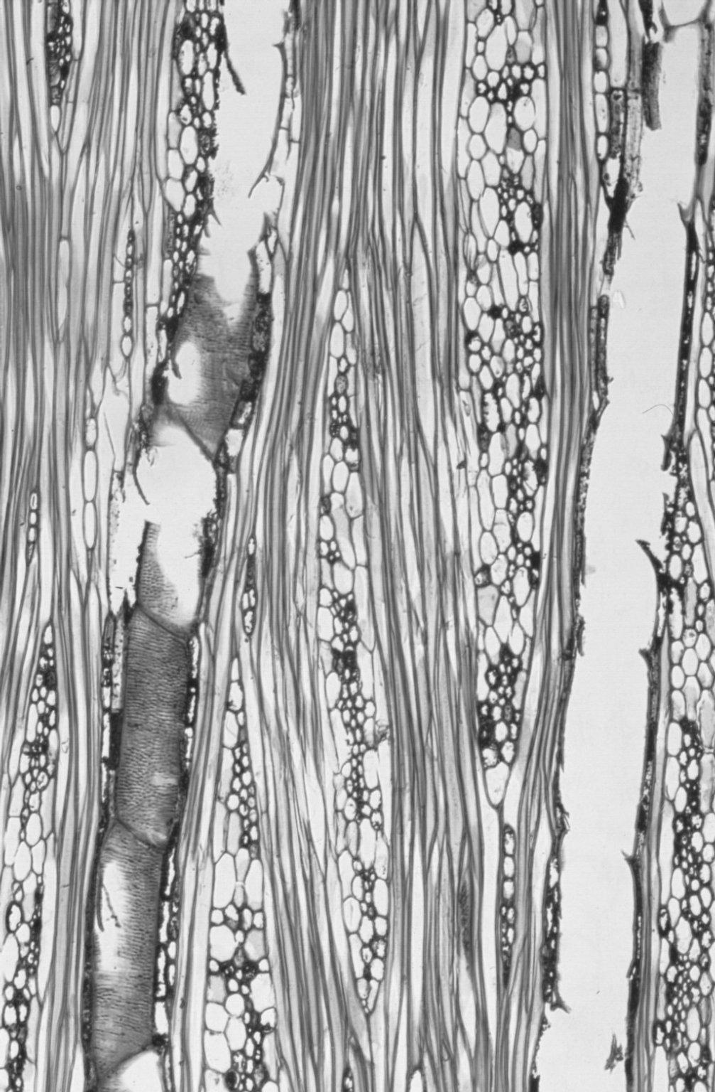 MALVACEAE MALVOIDEAE Hibiscus tiliaceus