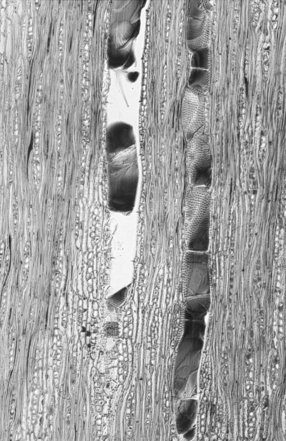 LEGUMINOSAE PAPILIONOIDEAE Dalbergia melanoxylon