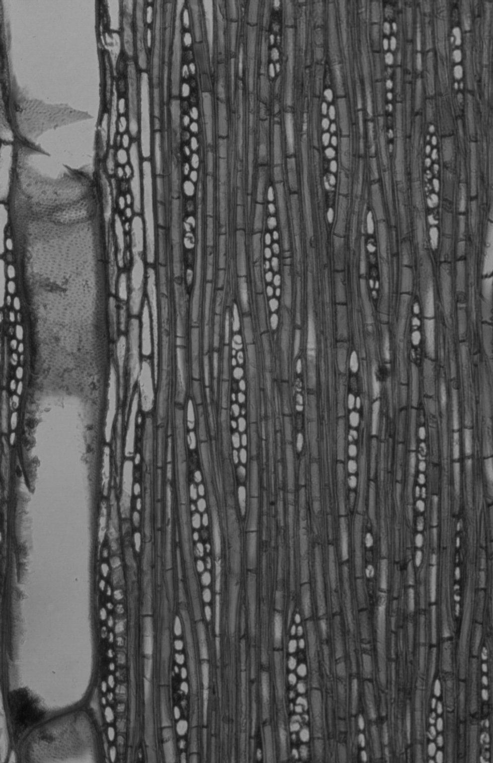 MELIACEAE Dysoxylum fraserianum