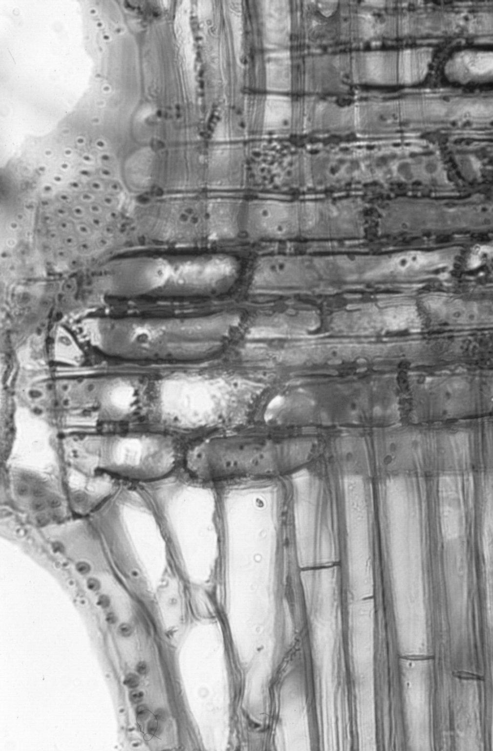 MELIACEAE Dysoxylum mollissimum molle