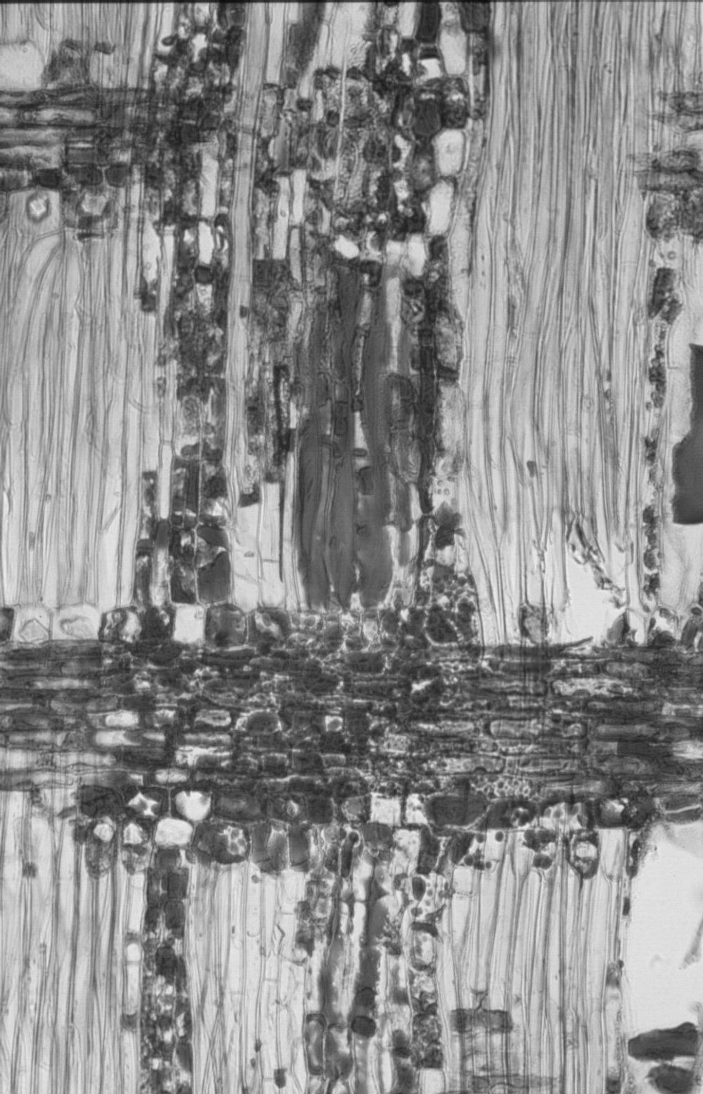 MELIACEAE Xylocarpus moluccensis