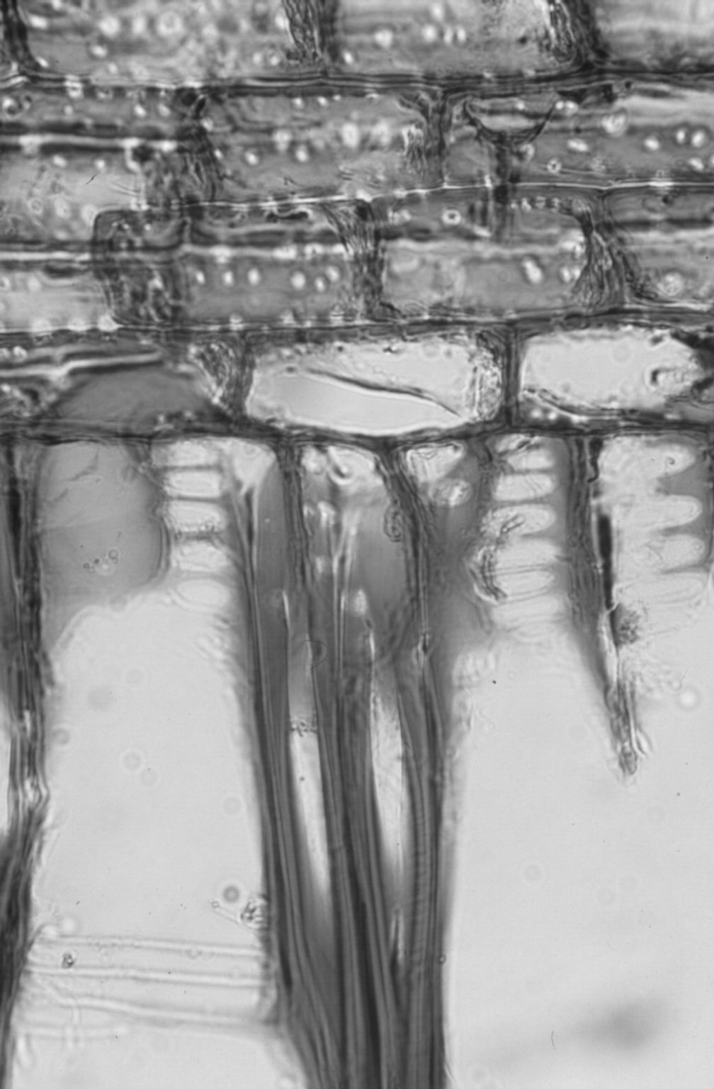 ATHEROSPERMATACEAE Daphnandra micrantha
