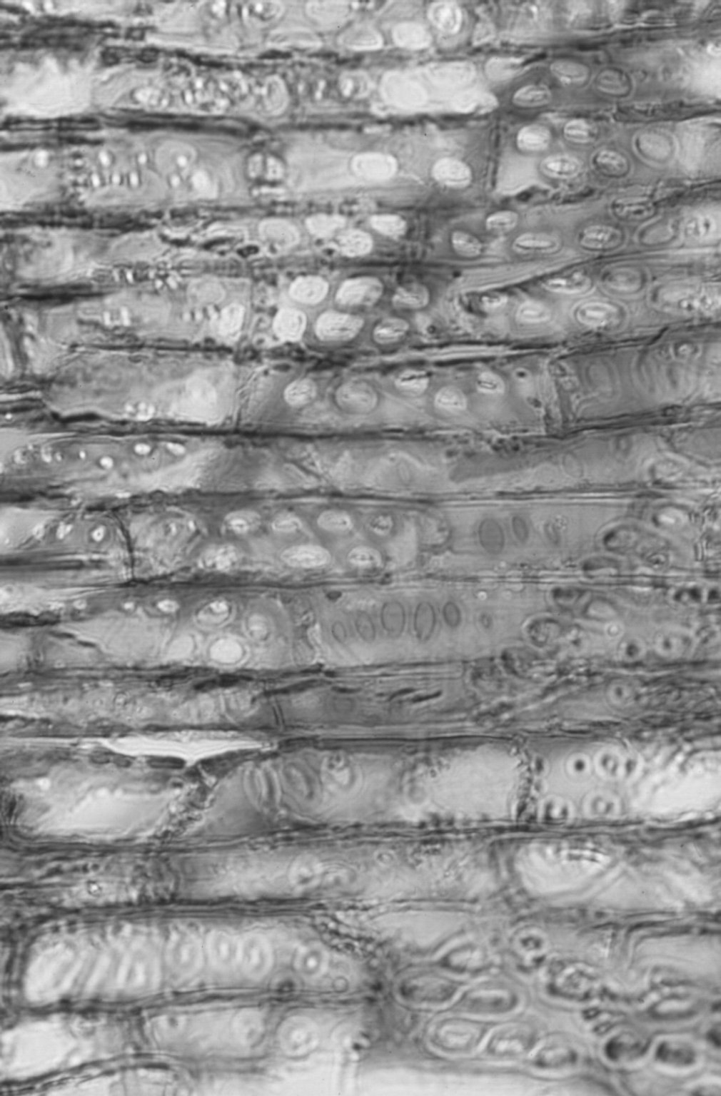 MORACEAE Artocarpus hirsutus