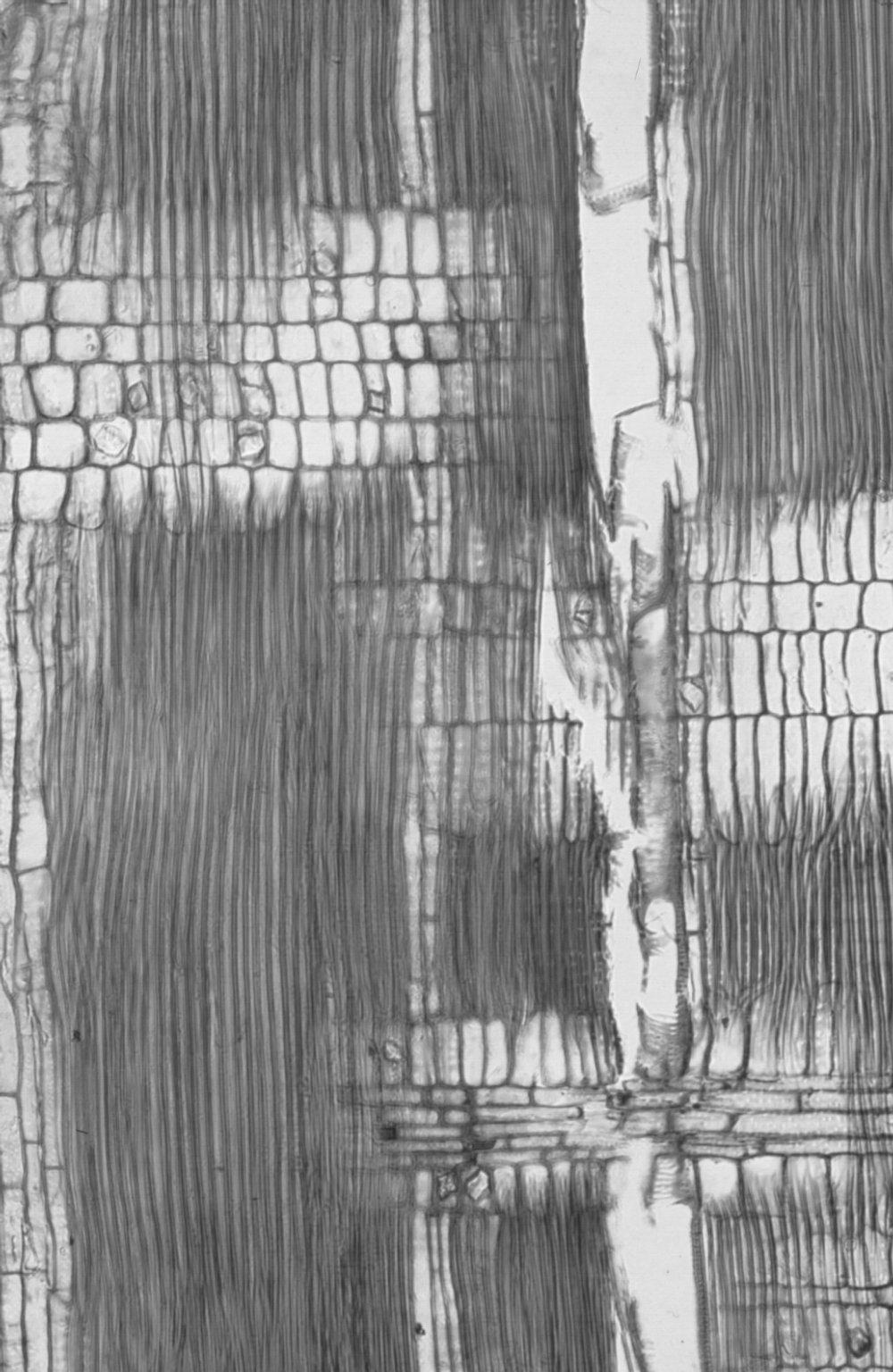 MORACEAE Brosimum alicastrum