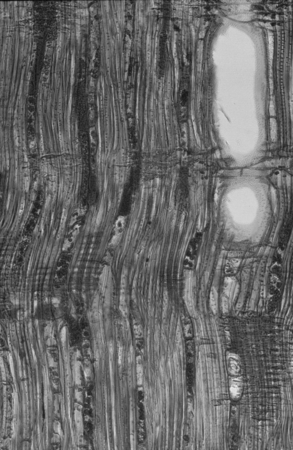 MYRTACEAE Agonis flexuosa