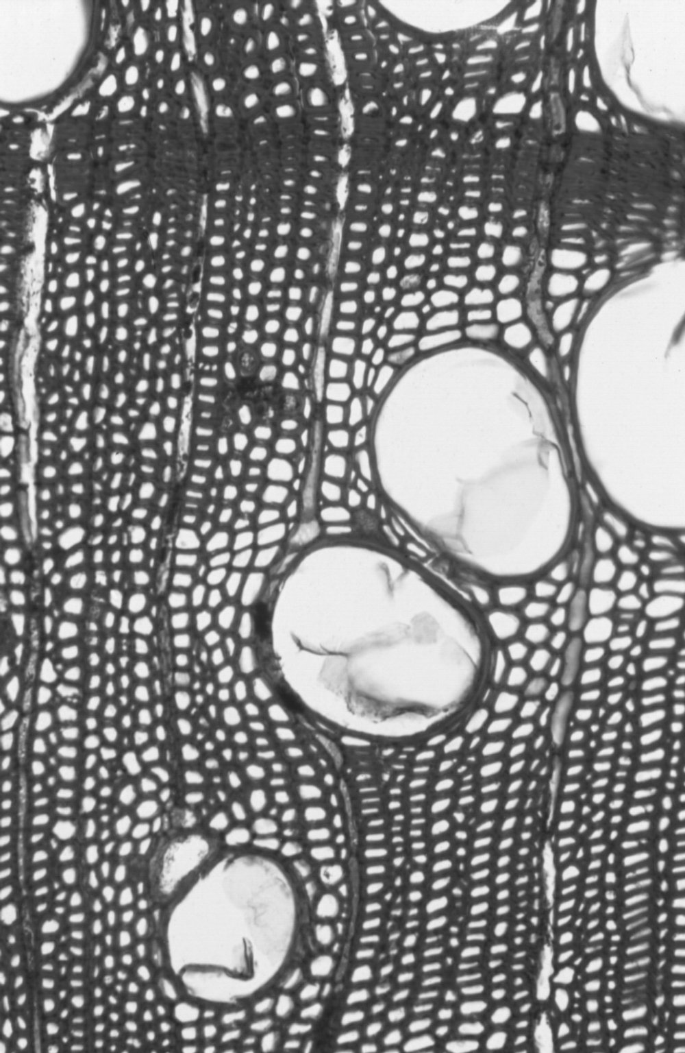 MYRTACEAE Eucalyptus baxteri