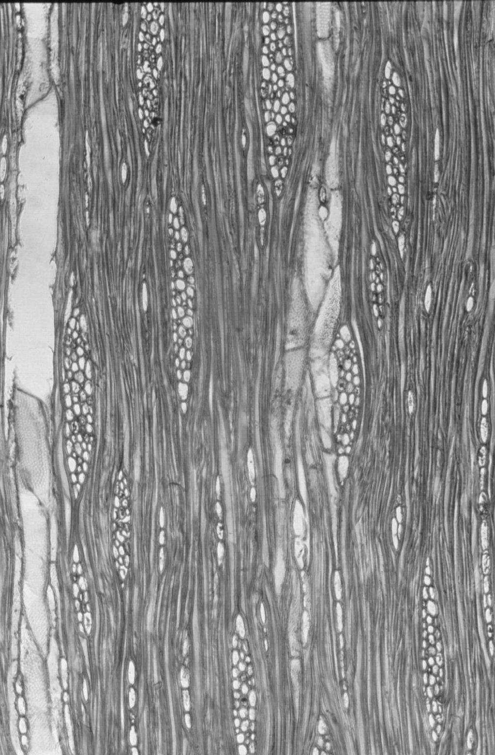 MYOPORACEAE Eremophila mitchelli