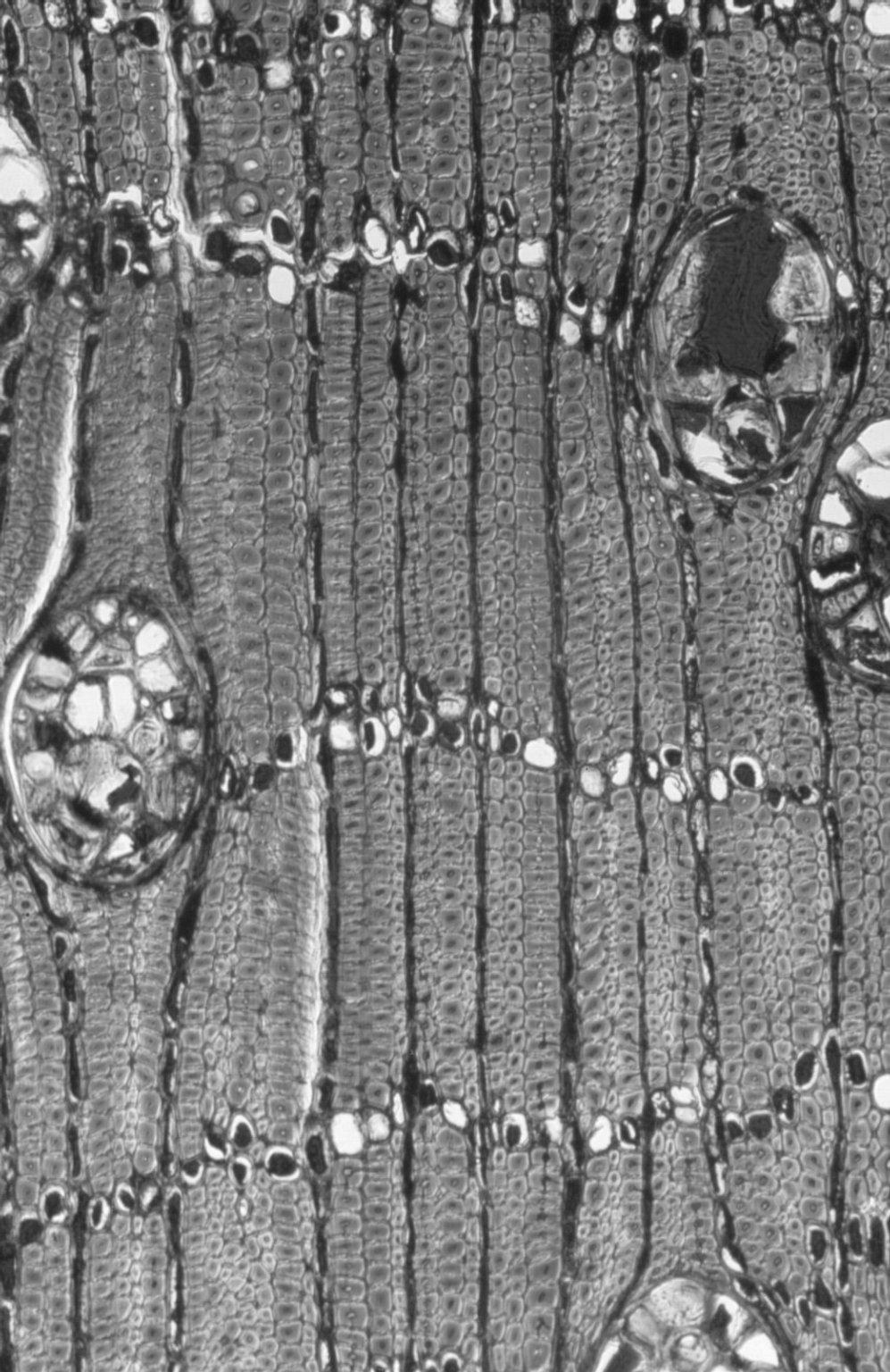CHRYSOBALANACEAE Parastemon urophyllus