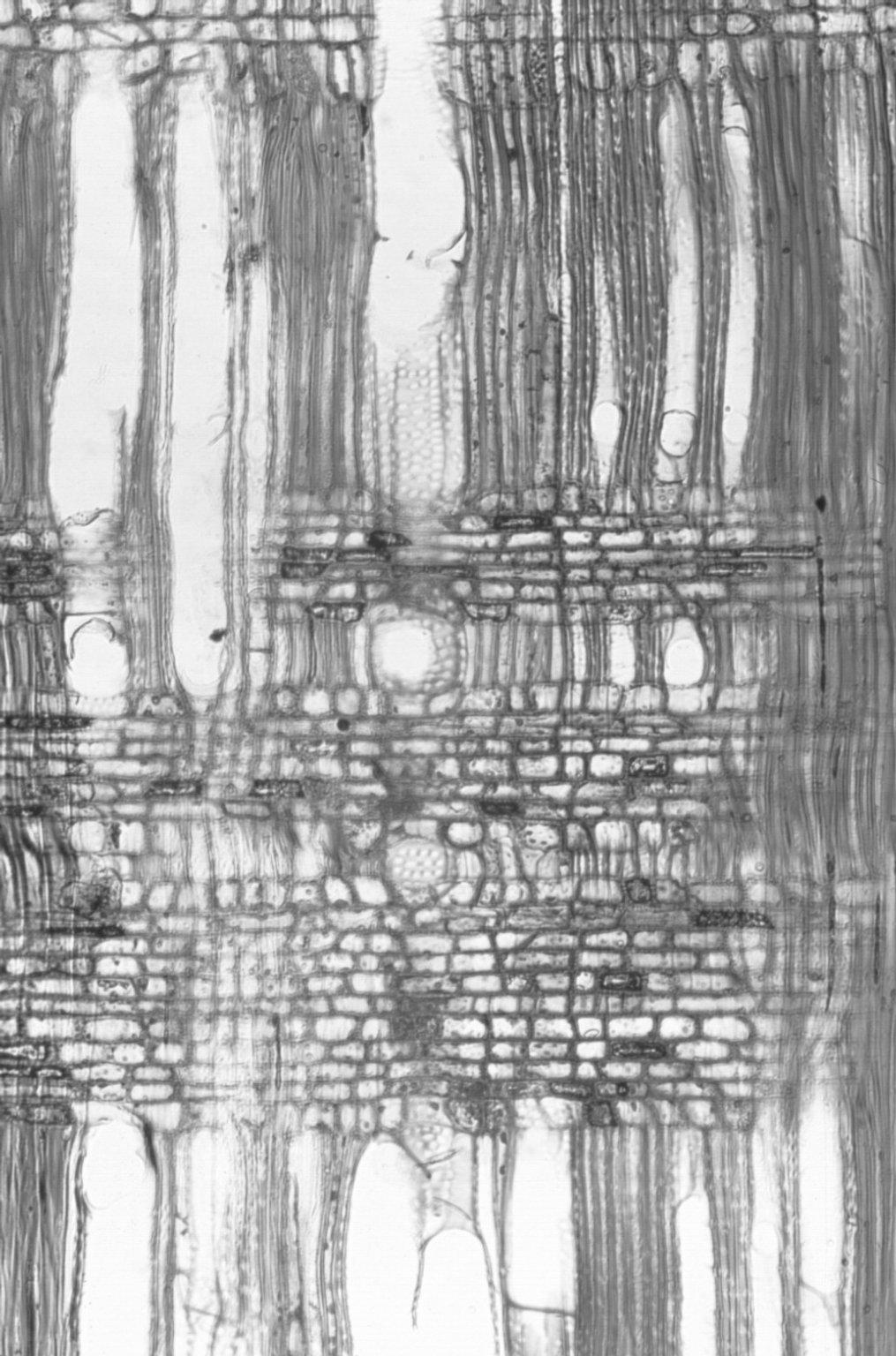 OLEACEAE Ligustrum vulgare
