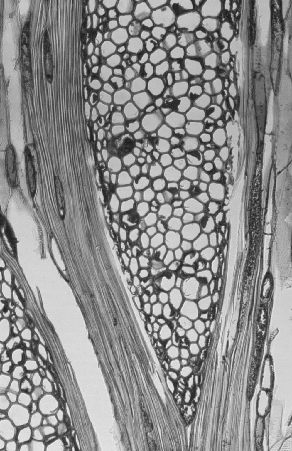 PROTEACEAE Banksia integrifolia
