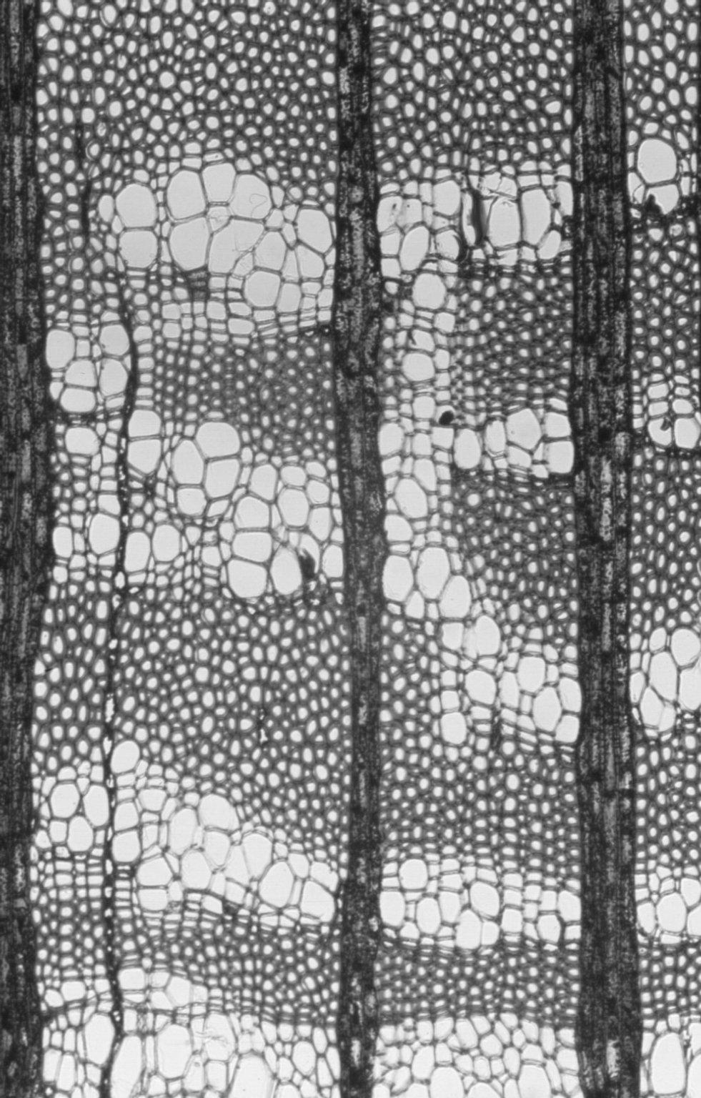 PROTEACEAE Macadamia ternifolia