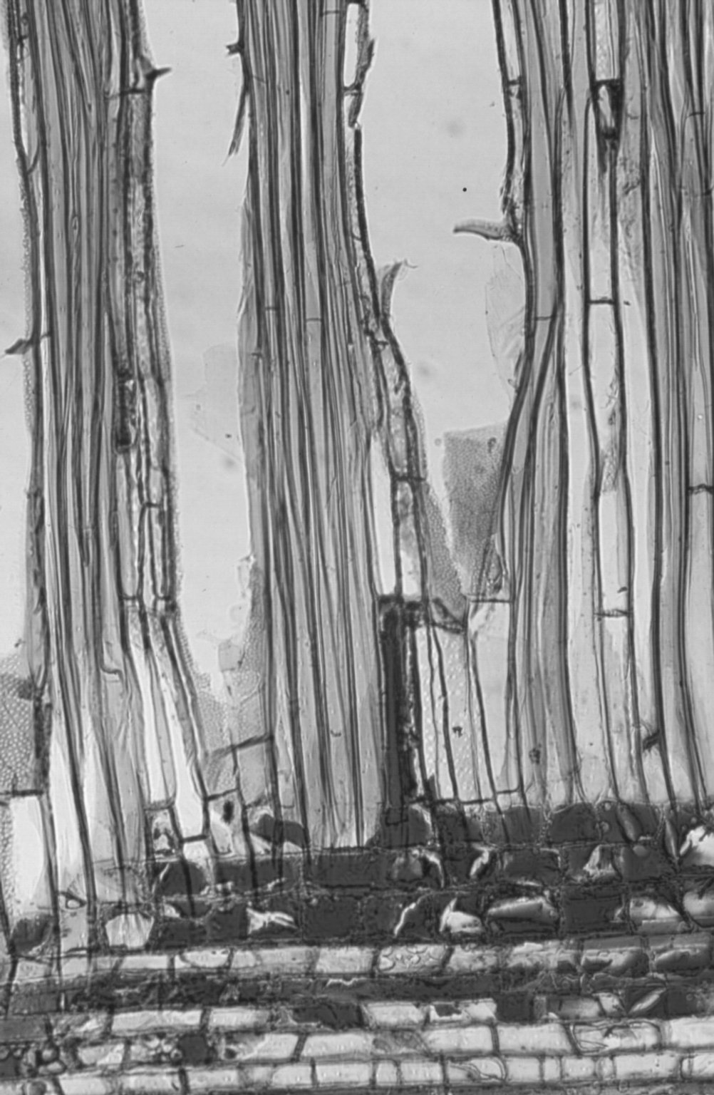 PROTEACEAE Opisthiolepis heterophylla
