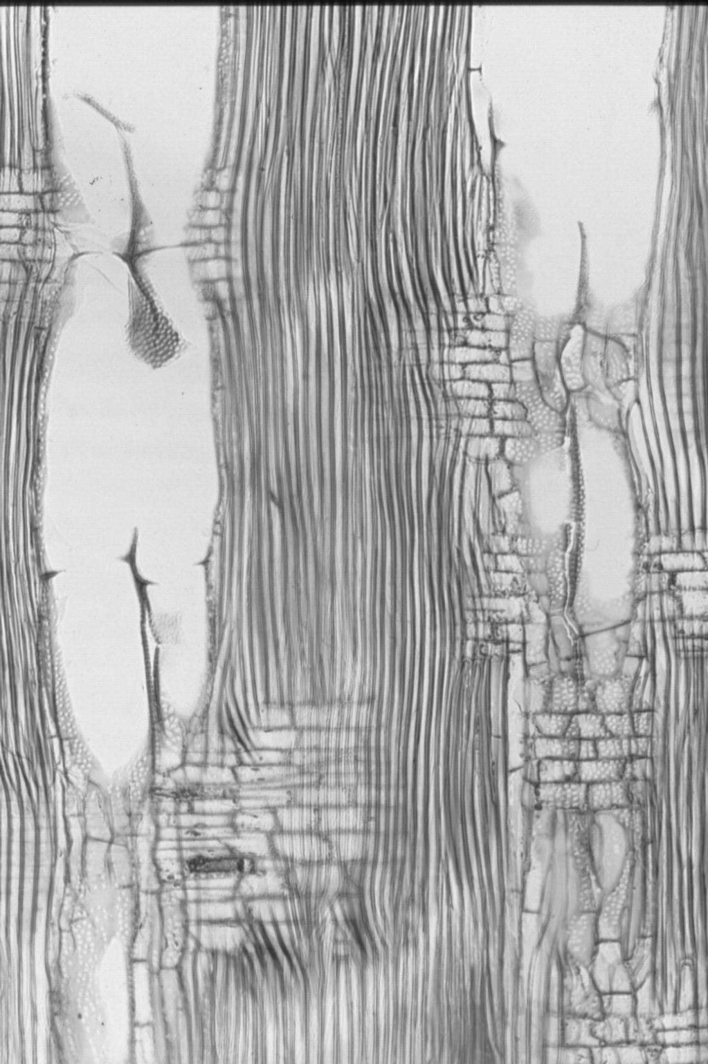SAPINDACEAE Dodonaea viscosa
