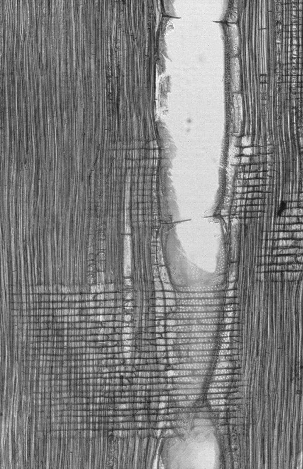 SAPINDACEAE Ganophyllum falcatum