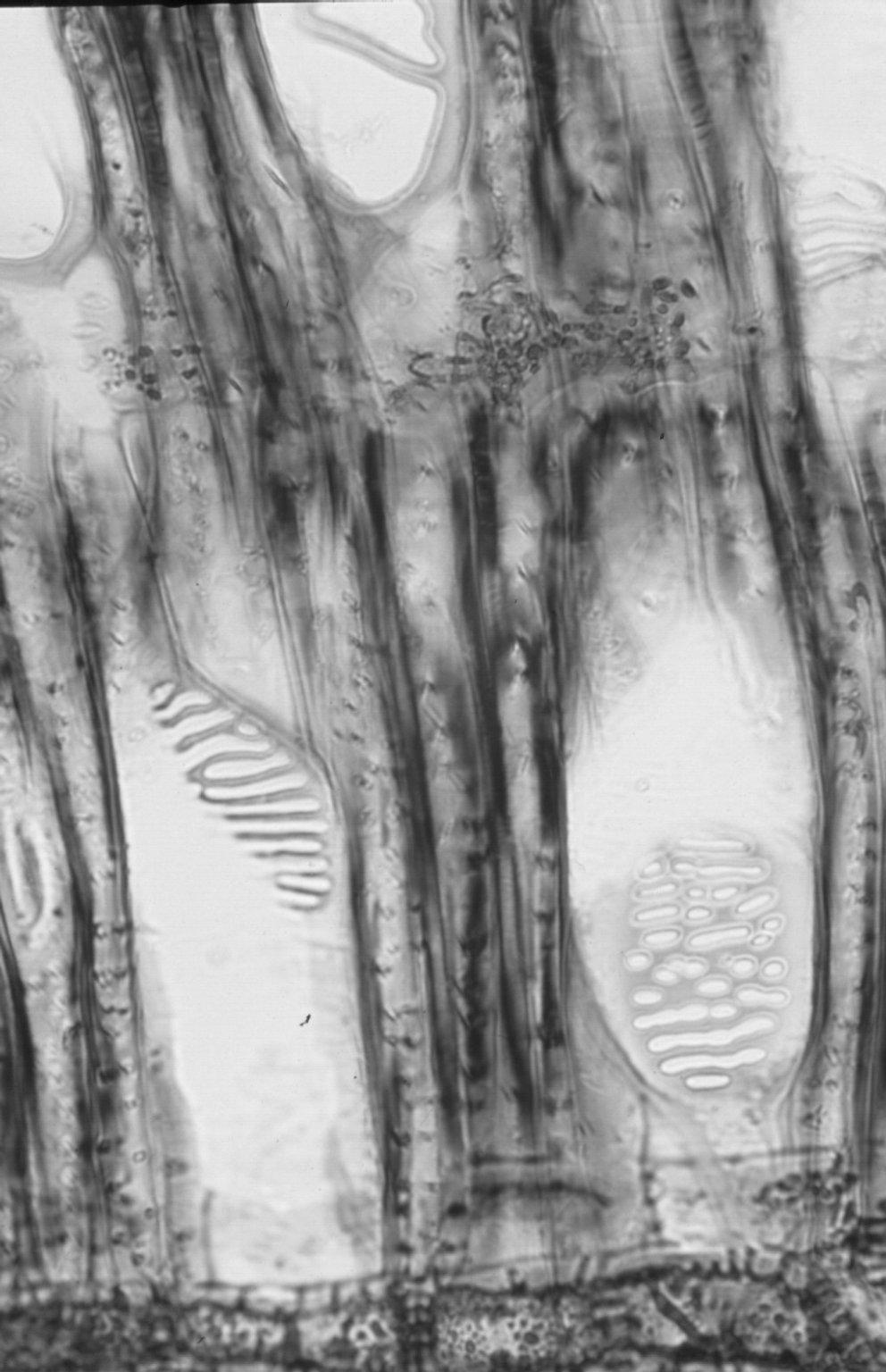 ERICACEAE Vaccinium arboreum